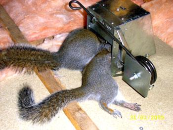Squirrel Traps Rat Trap Skunk Traps Opossum Trap